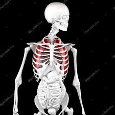 Human Male Anatomy Human Male Anatomy Skeleton And Highlighted Lungs 3d Illustrat
