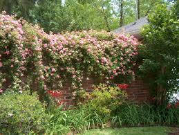 Rose Trellises Rosa Multiflora Seven Sisters Gorgeous Climbing Roses Want To