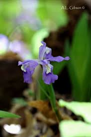 native plants ohio 98 best native plants images on pinterest native plants orchids