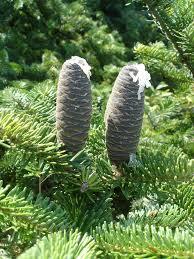 abies balsamea balsam fir go botany