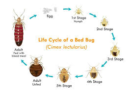 Kill Bed Bugs How To Kill Bed Bugs With Diatomaceous Earth U0026 Other Home Remedies