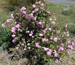 china with roses some china roses heritage roses in australia inc