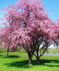 pink blossom tree photograph by marsha heiken