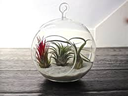 Air Plant Wall Holder Plants Winsome Hanging Glass Air Plant Holders Gentl And Hyers