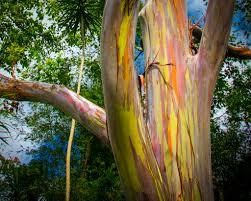 hawaii u0027s natural beauty spotlight rainbow eucalyptus trees