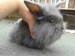 lion heads for sale baby rabbits for sale lion cross lops darlington county