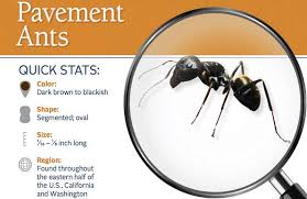 How To Kill Ants In The Kitchen by How To Get Rid Of Pavement Ants In House With Natural And Chemical