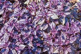 different types of purple purple pack 7 different types of purple plant seeds purple