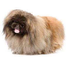havanese vs bichon frise compare pekingese vs pug difference between pekingese and pug