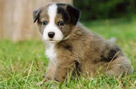 australian shepherd hound mix 26 unreal labrador cross breeds you have to see to believe
