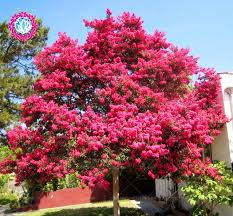 blooming plants 30pcs pink velour crape myrtle seeds impressive blooming plants
