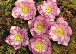 tempting red hellebore flowers for winter cheer landscape design