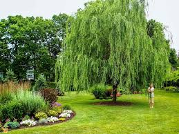 weeping willow shade trees for sale the planting tree
