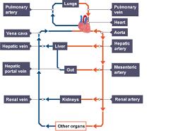 bbc bitesize gcse biology the circulatory system revision 1