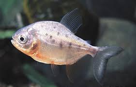 15 freshwater tropical fish species information and fur