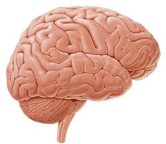 Which Part Of The Brain Consists Of Two Hemispheres Cerebrum Anatomy Study Guide Kenhub