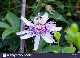 native plants passionflower vine grows purple passion flowers passiflora incarnata growing in hampton