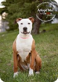 american pitbull terrier for sale in ohio medina oh american pit bull terrier meet trinity a dog for