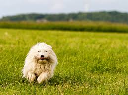pictures of a american eskimo dog coton de tulear dog breed information pictures characteristics
