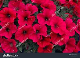 petunia flowers crimson blooming petunia flowers petunia stock photo 467390570