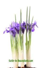 Irises How To Plant Grow by Grow Dwarf Iris Plants Indoors Force Iris Reticulata Bulbs