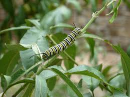 native plant society of new mexico got milkweed updated plant guide for central and south texas