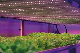 philips led grow light research probes benefit of using led light recipes horticulture week