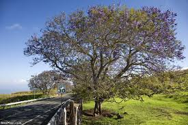 Tree With Purple Flowers The Beauty Of Jacaranda Season On Maui