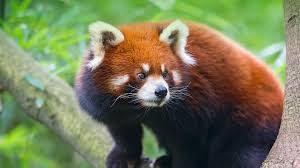 native plants in china red panda san diego zoo animals u0026 plants