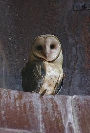 Barn Owl Photography Bill Hubick Photography Barn Owl Tyto Alba