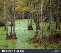 North Carolina Forest images North carolina swamp forest merchants stock photos north jpg