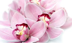 Flower Of Orchid - the meaning behind 8 different types of popular funeral flowers
