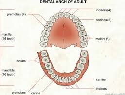 Wheeler S Dental Anatomy Physiology And Occlusion Do Molar Teeth Grow Back Again At The Age Of 18 Quora