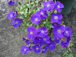 flora sky apk free free images flower blue aubretia purple flowering plant