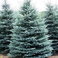 blue spruce 50 8 16 blue spruce