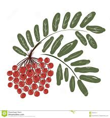 rowan branch with berries for your design stock vector image