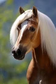 11 best haflinger horses images on pinterest haflinger horse