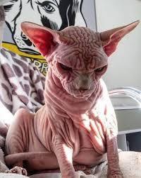 Basta Parece um vilão! Gato sem pelos e de olhar sinistro faz sucesso na  #NU98