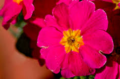 Pink Primrose Flower - primrose flower on bed in garden stock photo image 52829324