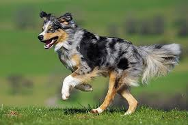 australian shepherd 500 australian shepherd animal stock photos kimballstock