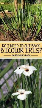 do i need to cut back bicolor iris gardener s path