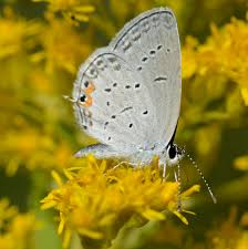 what thumbnail sized blue butterfly is perched on this goldenrod