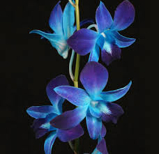 blue orchid flower blue wedding flowers for sale