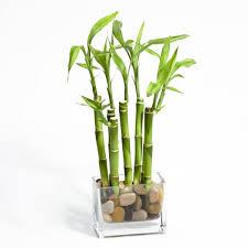 Buy House Plants Download Plants Bamboo Solidaria Garden