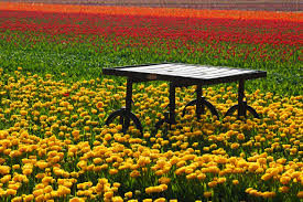 table in tulip field free stock photo public domain pictures