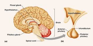 The Human Body Picture What Is The Pituitary Gland In The Human Body