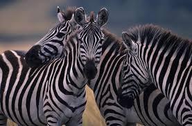 scientists solve the riddle of zebras u0027 stripes uc davis