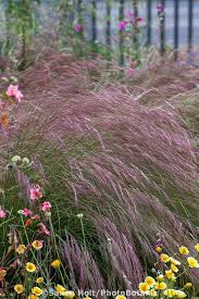 aristida purpurea purple three awn grass with california