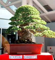 newzealandteatrees bonsai a personal journey page 3