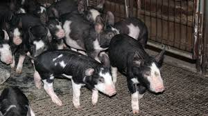 Iowa what is travelers diarrhea images Pig virus continues to spread raising fears of pricier bacon jpg